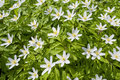 Wood anemone nemorosa early spring flowering plant in the genus in the family ranunculaceae native to europe also known as Royalty Free Stock Photography