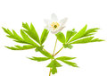 Wood anemone on a white background Stock Photos