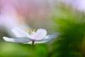 Wood anemone wild flower floating in green