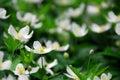 Wood anemones Royalty Free Stock Image