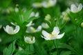 Wood anemones Royalty Free Stock Photo