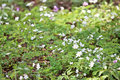 Wood anemones in spring Royalty Free Stock Photo