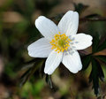Wood aneomone (anemone nemorosa) or windflower. Royalty Free Stock Image