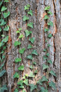 Wood bark and ivy an abstract brown texture Royalty Free Stock Photos