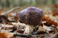 Wood blewit fungus Royalty Free Stock Photo