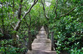 Wood Boardwalks go to mangrove forest, Thailand Royalty Free Stock Photo