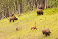 Wood buffalo bison bison athabascae herd grazing of or on pasture alongside woodland Stock Photos