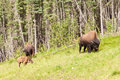 Wood buffalo herd bison bison athabascae grazing small of or on pasture alongside woodland Royalty Free Stock Image