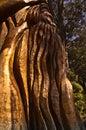 The Australiana Tree Royalty Free Stock Photo