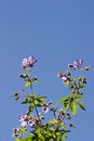 Wood Cranesbill Royalty Free Stock Photo