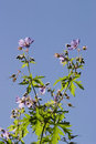 Wood cranesbill and a blue clear sky Stock Images
