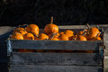 Wood crate of pumpkins Stock Photography