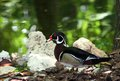 Wood Duck Royalty Free Stock Images