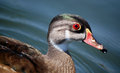 Wood duck in eclipse plumage male the water Stock Photo