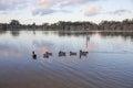Wood Duck Evening Swim Royalty Free Stock Photo