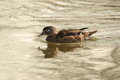 Wood duck female of floating in water Stock Photography
