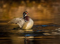 Wood duck flapping its wings at sunrise on a small pond Stock Photos