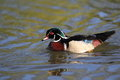 Wood duck the floating in water Stock Images
