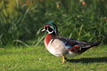 Wood duck the on the grass Stock Images