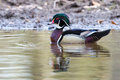 Wood duck on gray pond with tufted green black and white feathers a pale and yellow rippled Royalty Free Stock Image