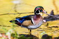 Wood Duck male. Royalty Free Stock Photo