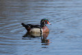 Wood duck male floating serenely in a lake Royalty Free Stock Photography