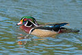 Wood duck male floating in the water Stock Images