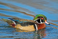 Wood duck male floating in the water Royalty Free Stock Images
