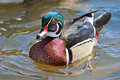 Wood duck male floating in the water Stock Photos