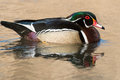 Wood duck male swimming in the open water Royalty Free Stock Images