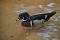 Wood duck a male swimming in a pond Royalty Free Stock Photo