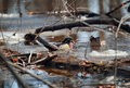 Wood duck in nature during spring Royalty Free Stock Photography