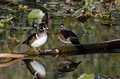 Wood duck pair perched on fallen limb in a pond Stock Photos