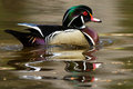 Wood duck on pond with brown beige black green and white feathers dabbling a pink green and yellow Stock Images
