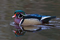 Wood Duck Reflection Stock Photos