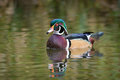 Wood duck a at the reifel bird sanctuary outside of vancouver canada Royalty Free Stock Photos