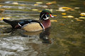 Wood duck swimming in the pond Royalty Free Stock Images