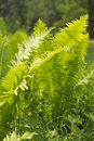 Wood fern leaves on summer day sunny Stock Images