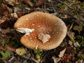 Wood fly agaric Royalty Free Stock Photo