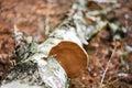 Wood fungus Royalty Free Stock Photo