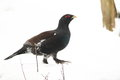 Wood grouse Royalty Free Stock Photo