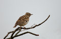 Wood lark on a twig Stock Images