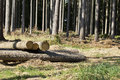 Wood logging in the forest trees Royalty Free Stock Photo