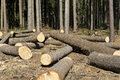 Wood logging in the forest trees Stock Photo