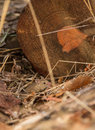 Wood mouse in fornt of a log shy apodemus sylvaticus comes out it s hole under big Stock Image
