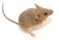 Wood mouse on a white background Royalty Free Stock Photography