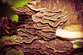 Wood mushrooms natural growing on a tree stump Stock Photography