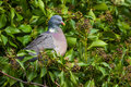 Wood pigeon columba palumbus close up of a perched in ivy Stock Image