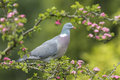 Wood Pigeon, Columba palumbus, Royalty Free Stock Photo