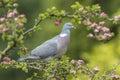 Wood Pigeon, Columba palumbus, Royalty Free Stock Photo